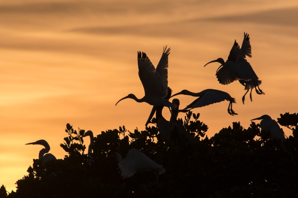 White ibis at sunset