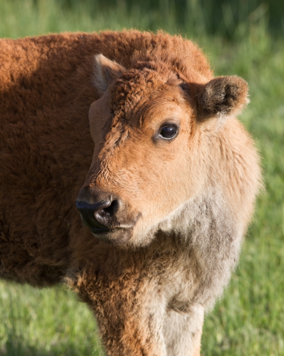 Baby bison profile