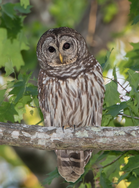 Barred owl near nest 1