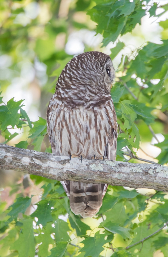 Barred owl near nest 2