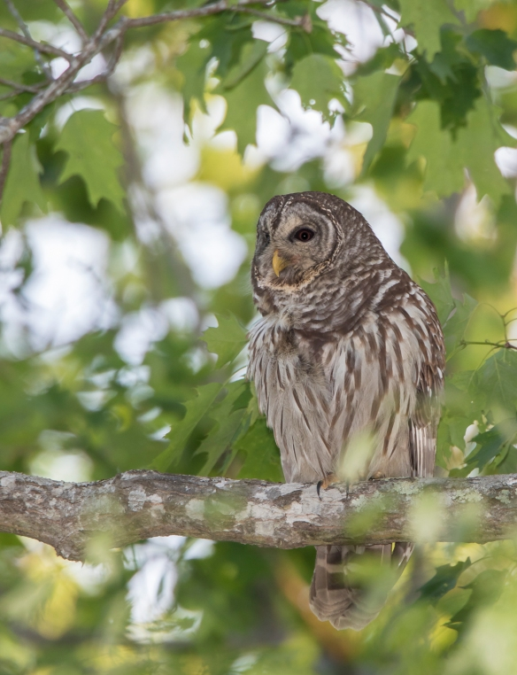 Barred owl near nest