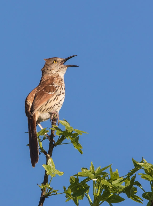 brown thrasher singing 1