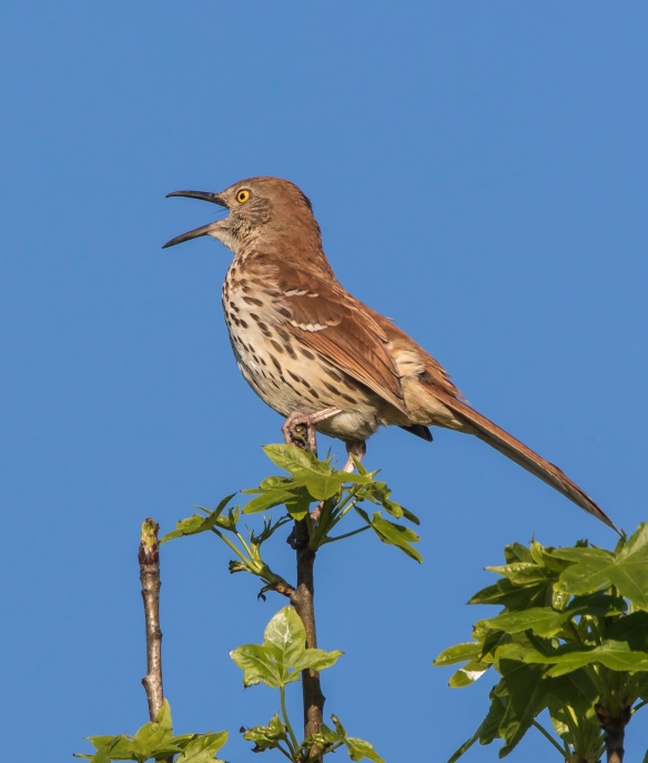brown thrasher singing 2