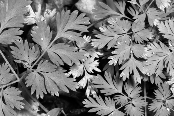 dutchman breech's leaves