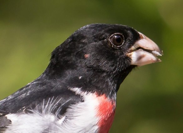 head shot of grosbeak