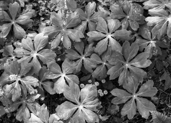 mayapple leaves