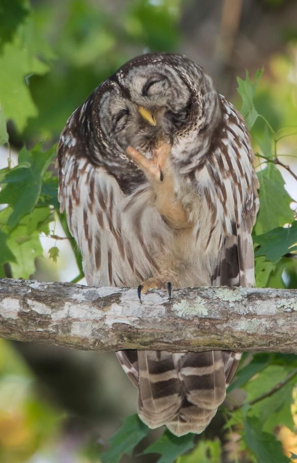 owl preening 2