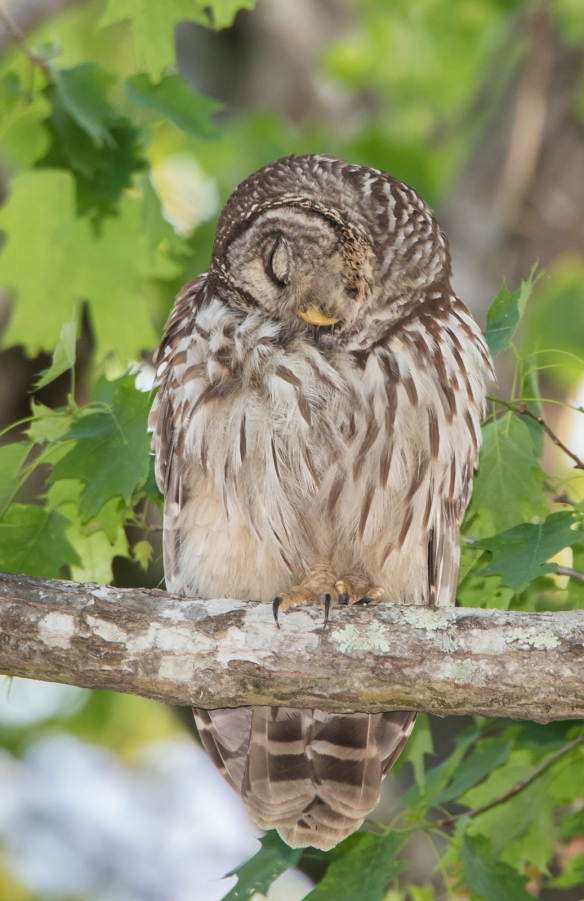 Owl preening