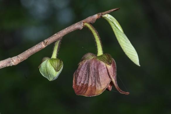 pawpaw flower and bud