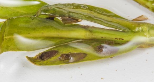 pupal cases on leaf