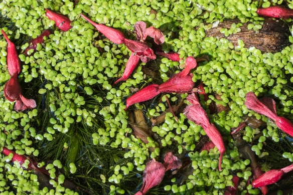 red buckeye flowers on duckweed
