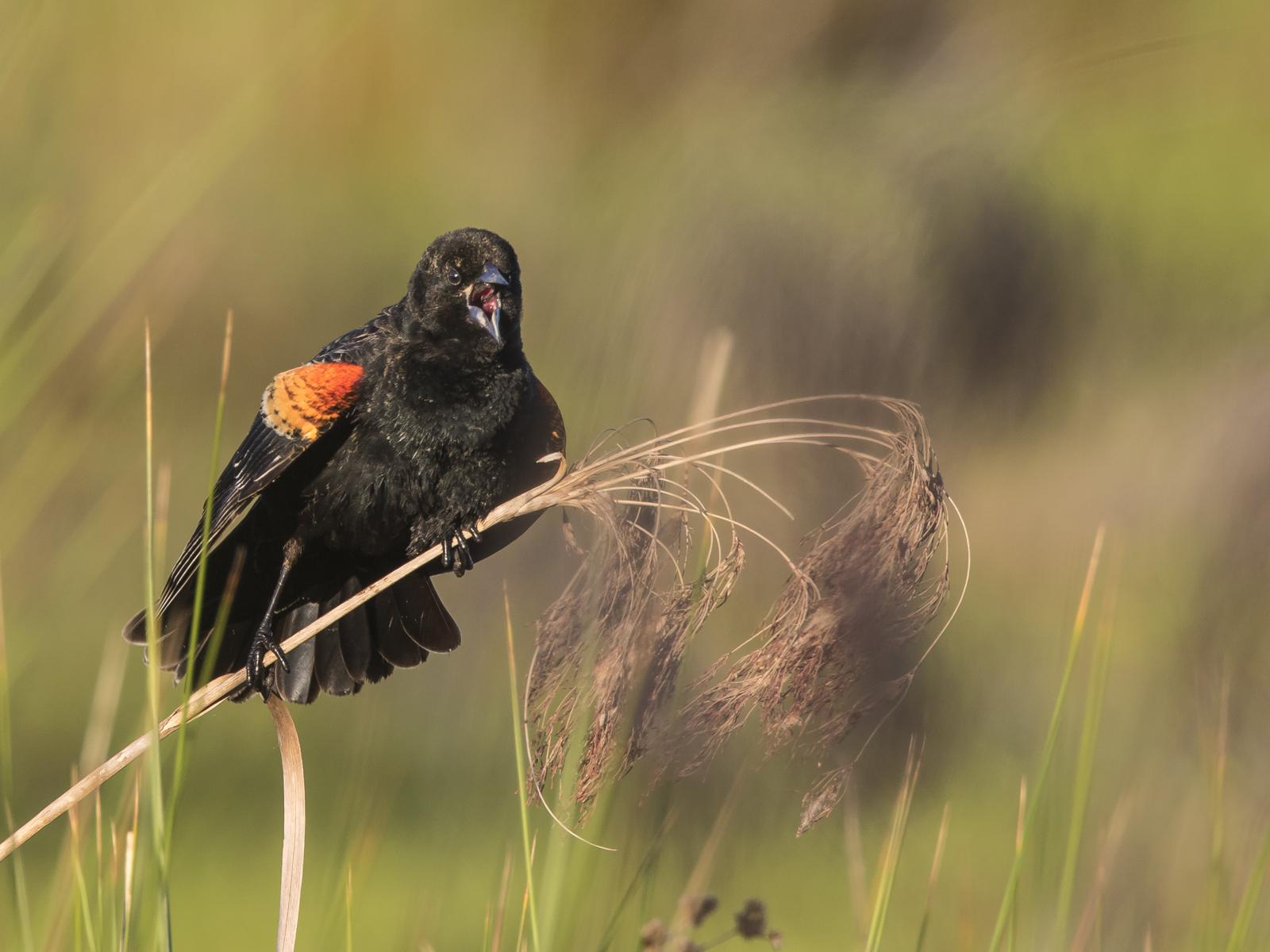 red-winged blackbird   Roads End Naturalist