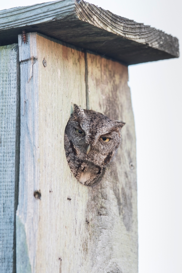 Screech owl in wood duck box 1