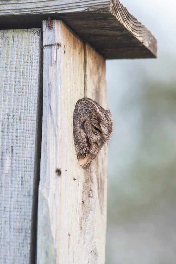 Screech owl in wood duck box