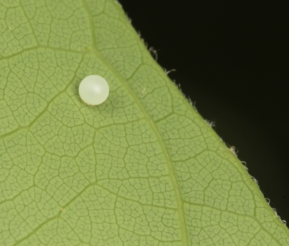 Spicebush swalloewtail egg laid same day