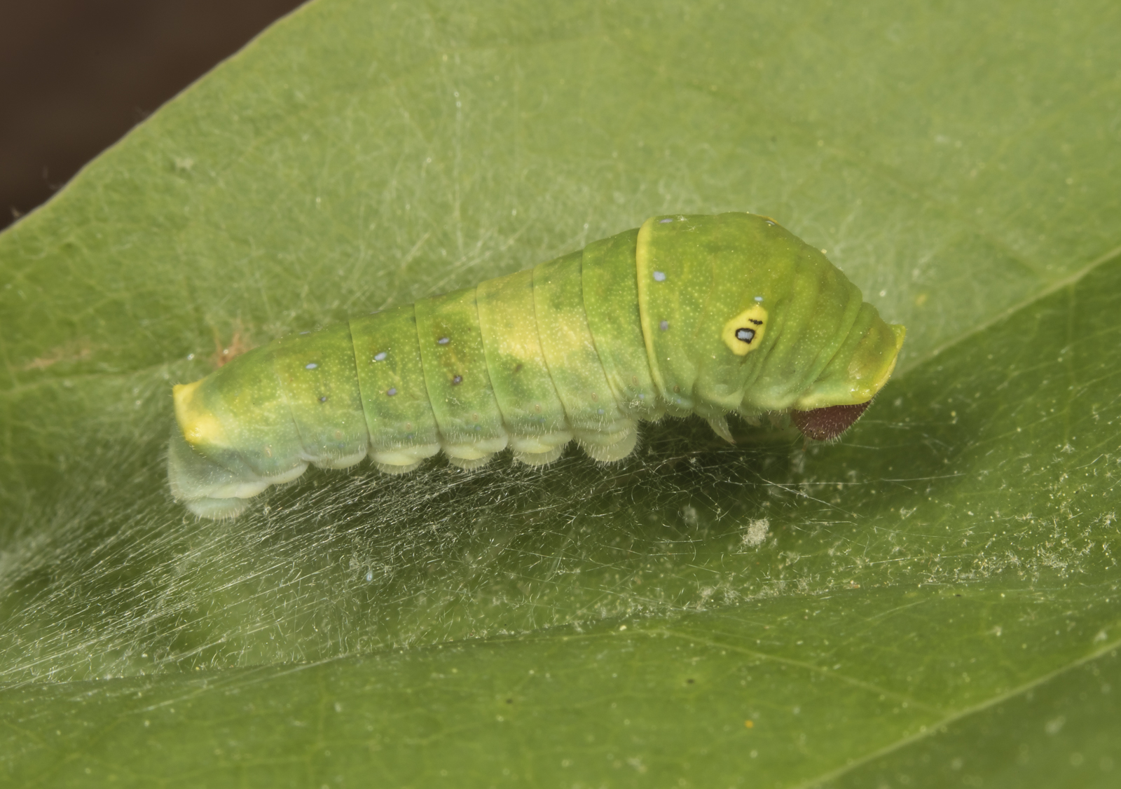 tiger swallowtail third instar