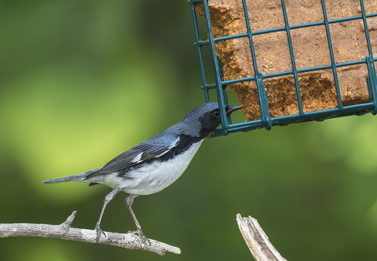 Black-throated blue at suet