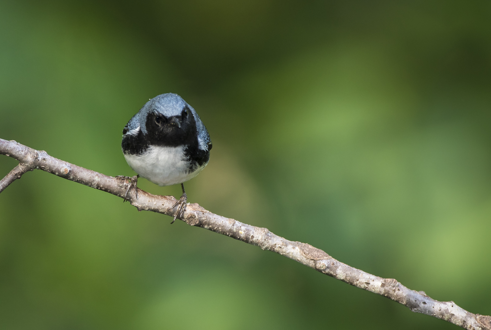 Black-throated blue on branch 2