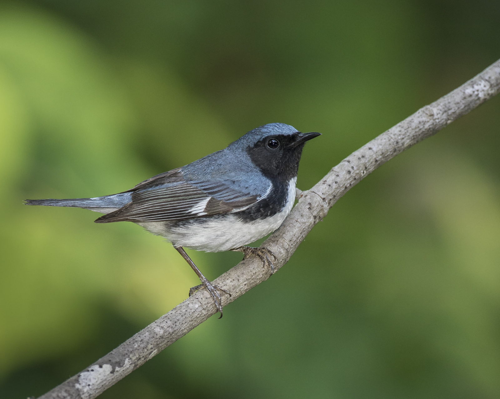 Black-throated blue on branch best