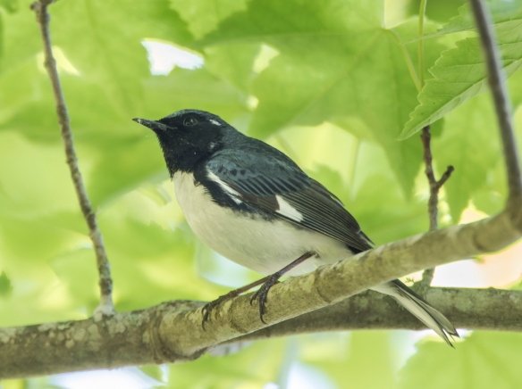 Black-thrpoated blue warbler