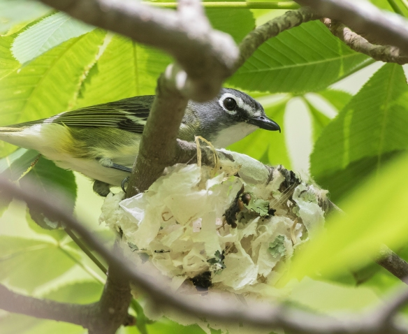 Blue-hesded vireo at nest