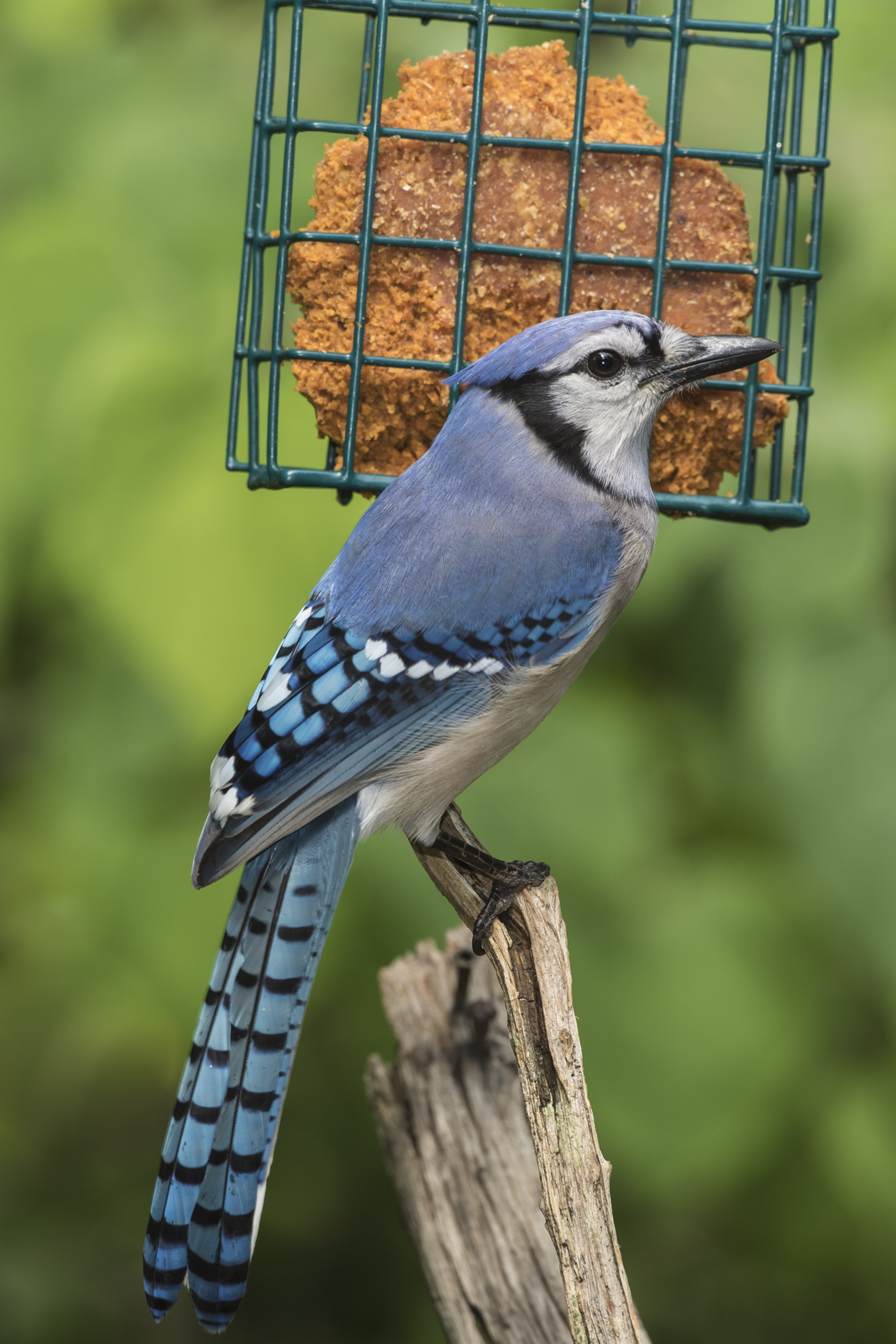 Blue jay at suet