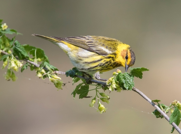 Cape May warbler 26