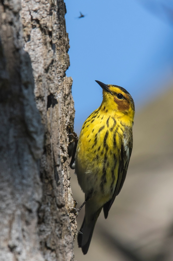 Cape May warbler foraging on tree trunk 1
