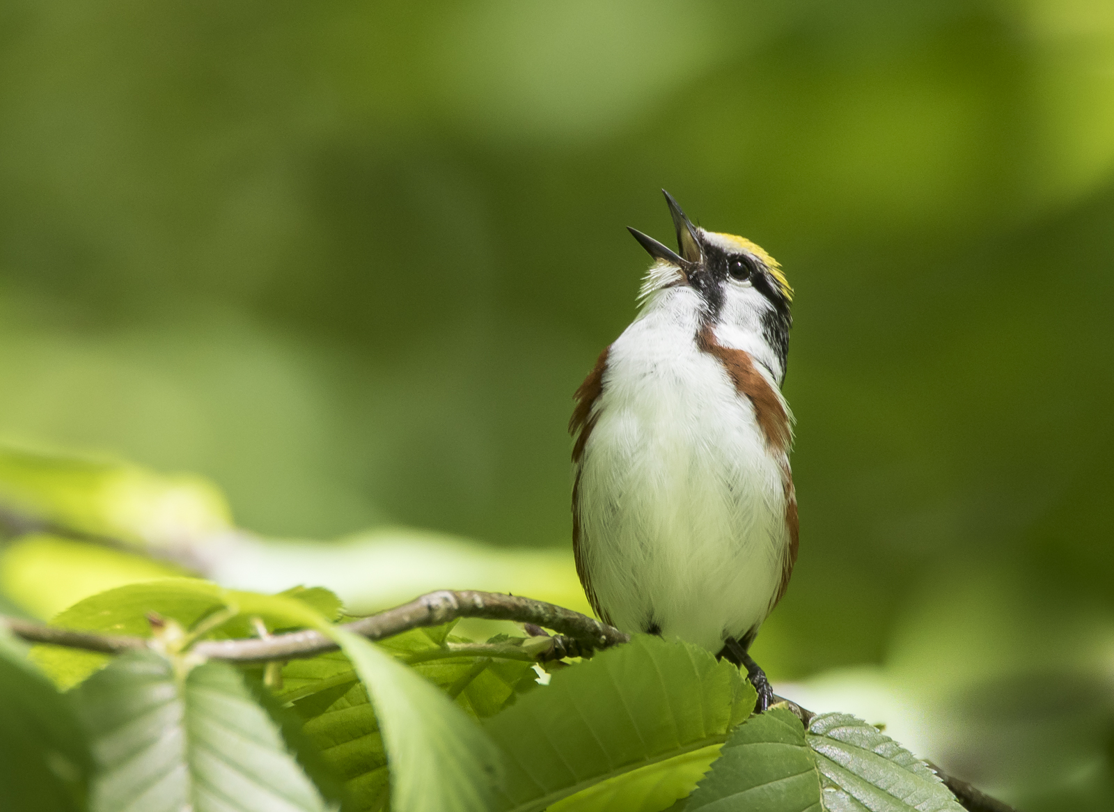 Chestnut-sided warbler singing in NC 1