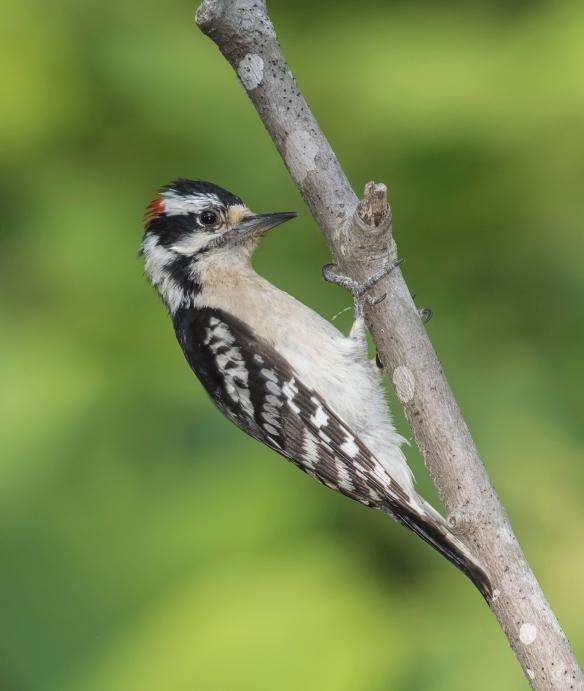 Downy woodpecker male on branch