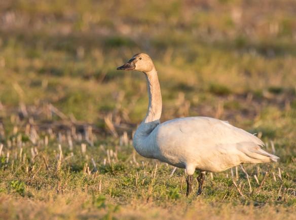 late tundra swan