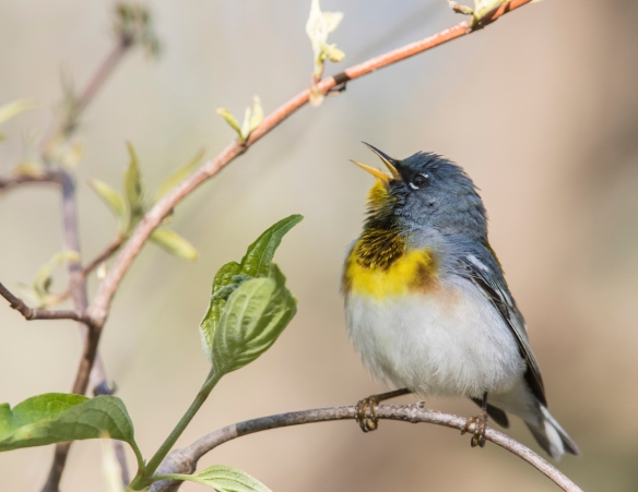Northern parula warbler male singing