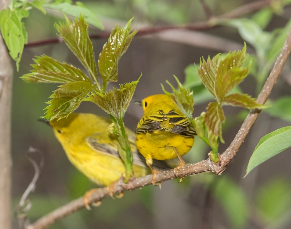 Pair of yellow warblers