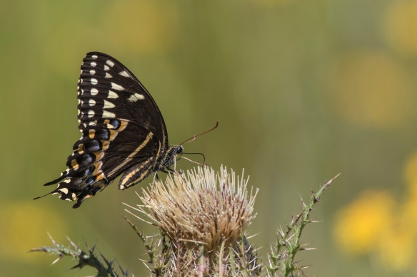 Palomedes swallowtail on thistle