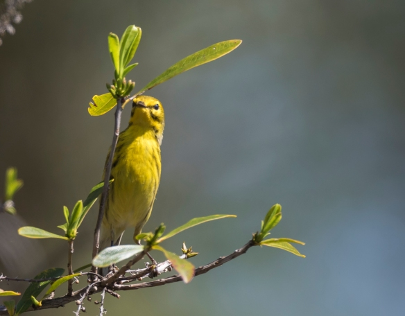 prairie warbler hunting for bugs 1