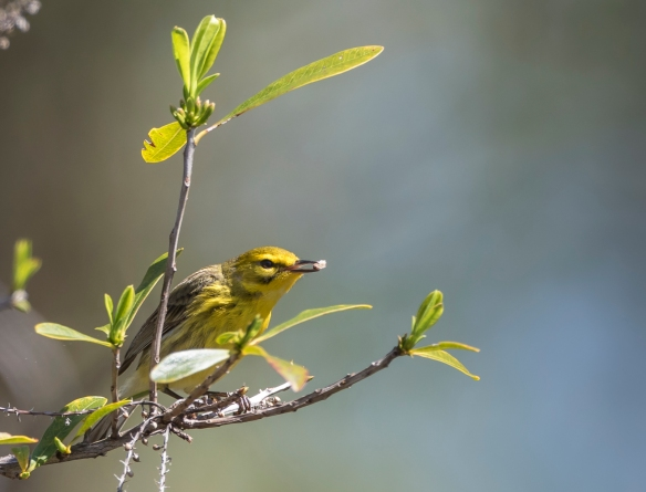 prairie warbler hunting for bugs 2