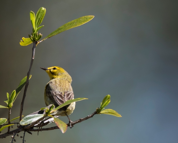 prairie warbler hunting for bugs