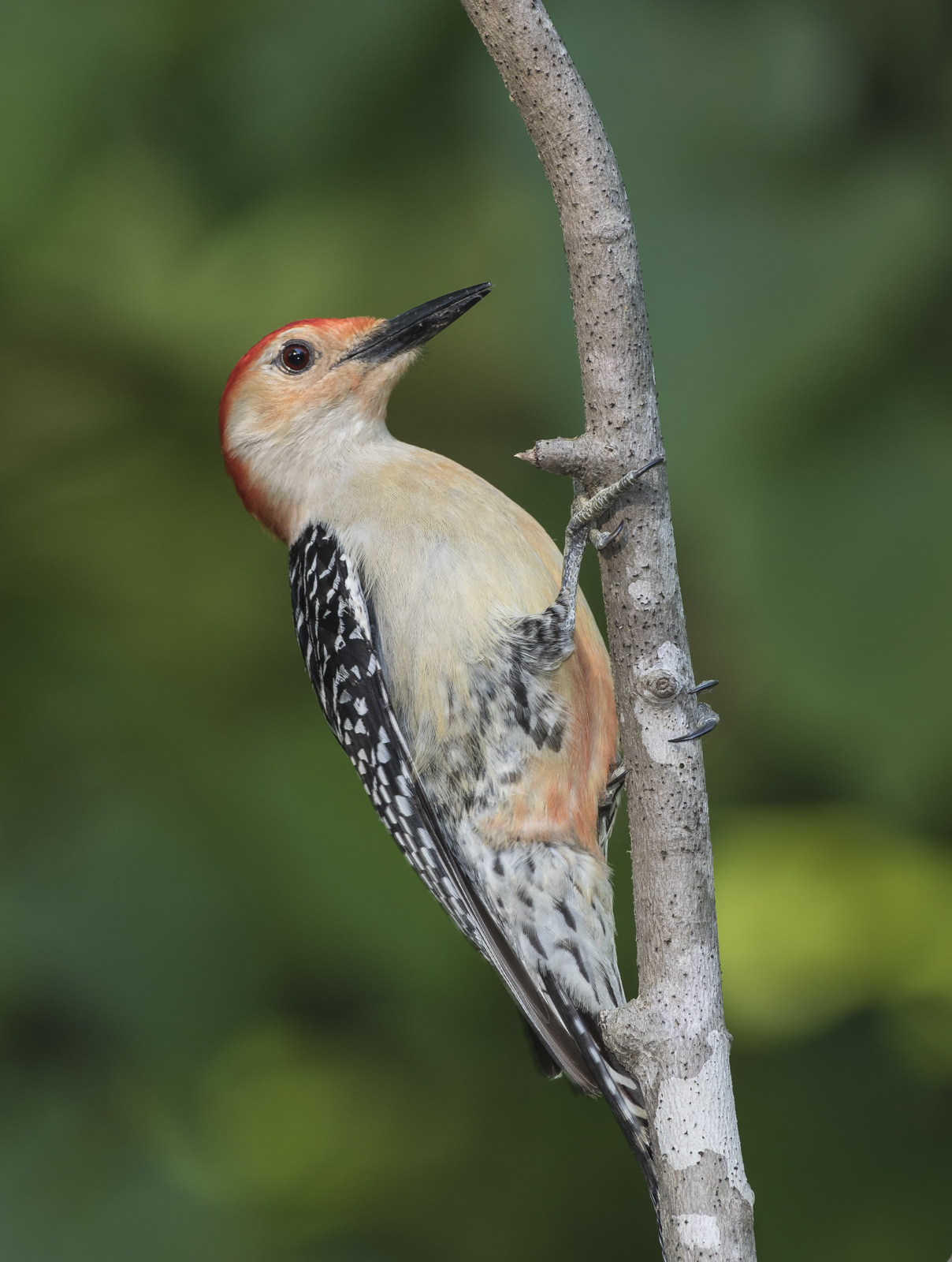 Red-bellied woodpecker male on branch