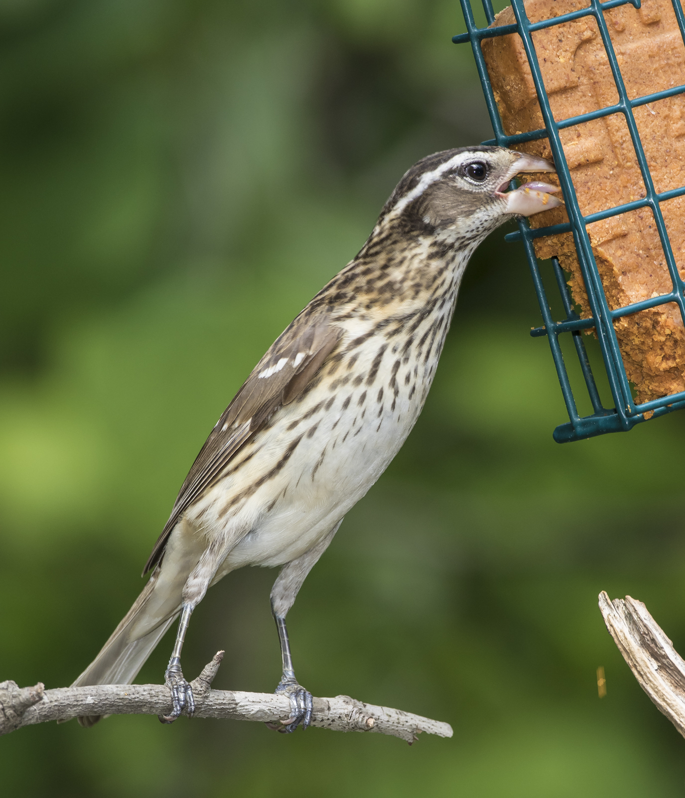 Rose-breasted grosbeak ifemale at suet