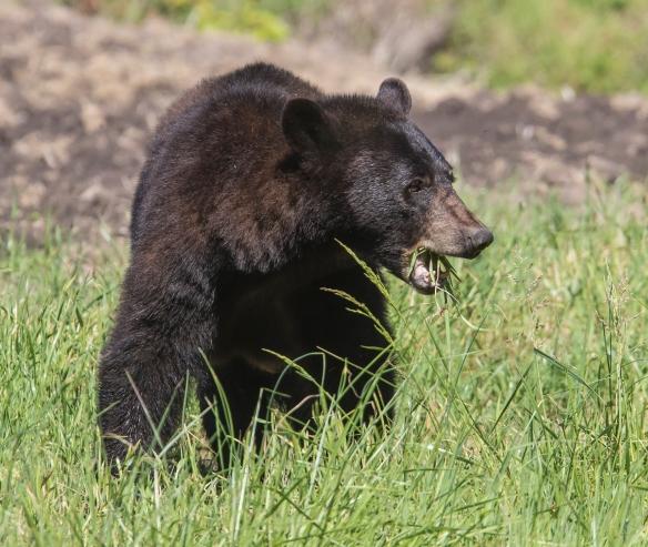 Sow black bear eating grass