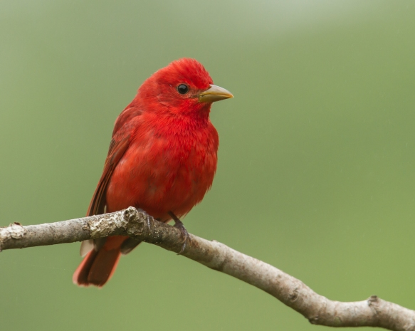 Summer Tanager male 2