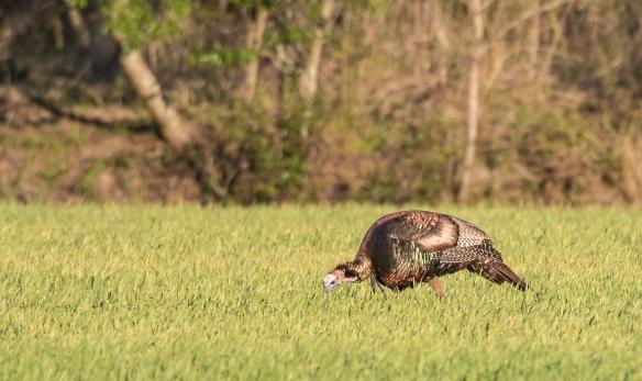 Wild turkey in wheat field