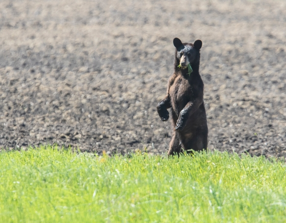 Yearling black bear standing