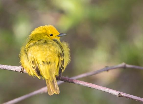 yellow warbler afterg preening