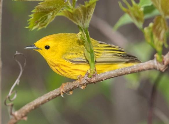 Yellow warbler along boardwalk