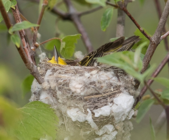 Yellow warbler female forming nest
