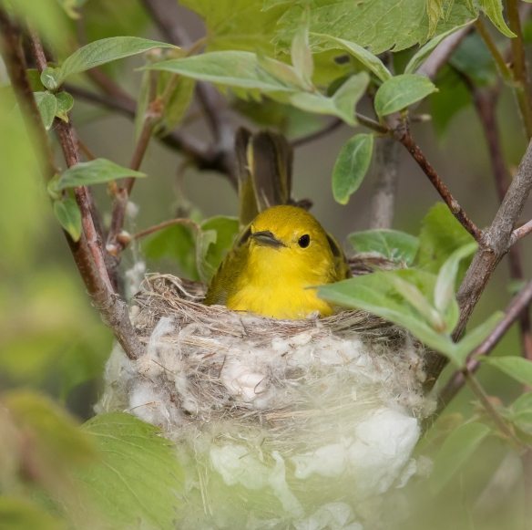 Yellow warbler female on nest