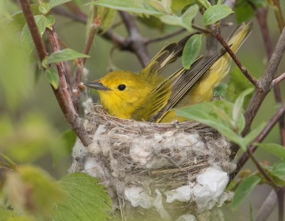 Yellow warbler formingnest with wings
