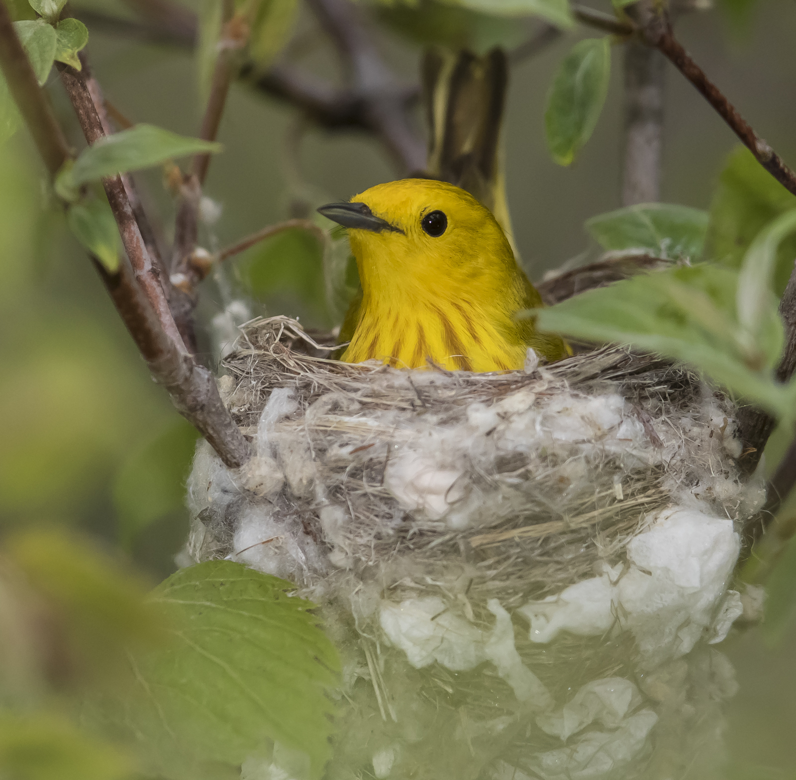Yellow warbler male on nest