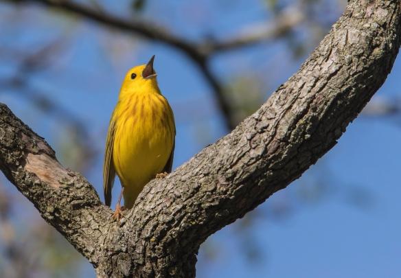 Yellow warbler male singing